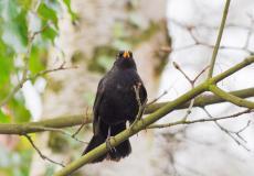 ornitologiczna obserwacja kosa
