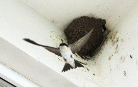 ekspertyza ornitologiczna jaskółki