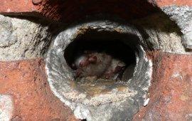 Nietoperze w budynkach są zagrożone podczas prac remontowych i termomodernizacji budynków