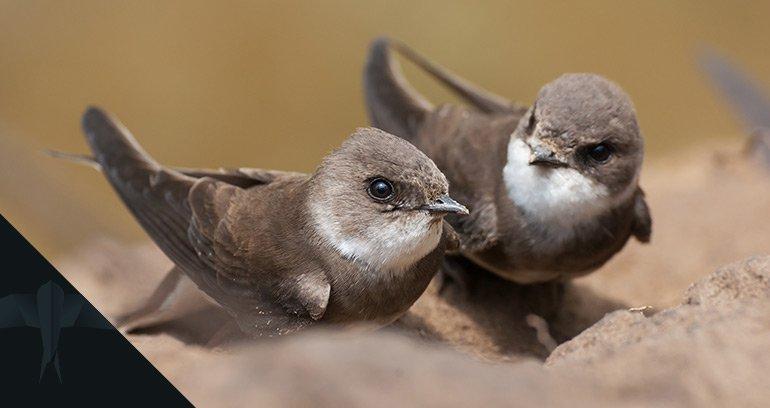 ornitologia, jezyki