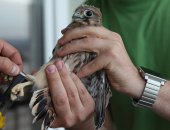 Obrączkowanie ptaków